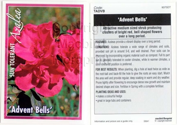 Picture of AZALEA ADVENT BELLS