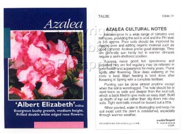 Picture of AZALEA ALBERT ELIZABETH