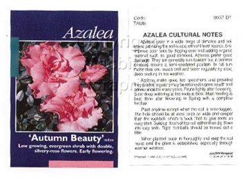 Picture of AZALEA AUTUMN BEAUTY