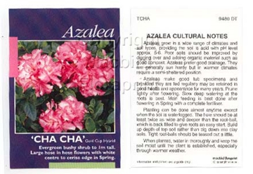 Picture of AZALEA CHA CHA