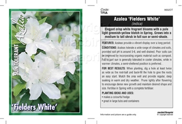 Picture of AZALEA FIELDERS WHITE
