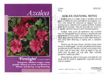 Picture of AZALEA FIRELIGHT