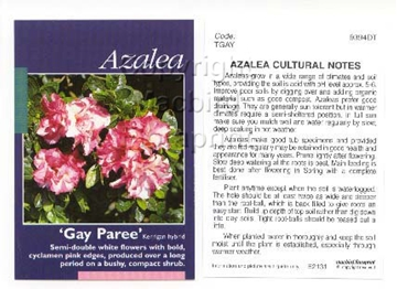 Picture of AZALEA GAY PAREE