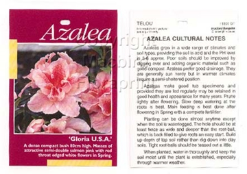 Picture of AZALEA GLORIA USA