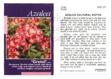 Picture of AZALEA GRETEL