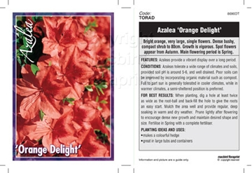 Picture of AZALEA ORANGE DELIGHT