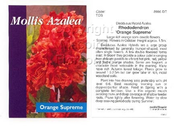 Picture of AZALEA MOLLIS ORANGE SUPREME
