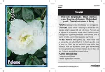 Picture of AZALEA PALOMA
