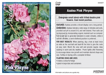Picture of AZALEA PINK PHRYNE