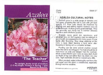 Picture of AZALEA THE TEACHER