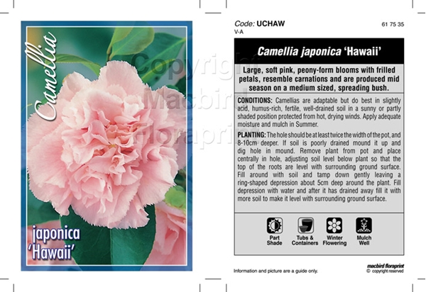 Picture of CAMELLIA HAWAII
