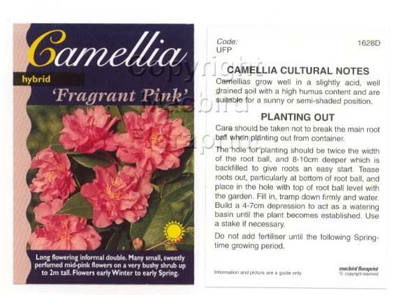 Picture of CAMELLIA FRAGRANT PINK