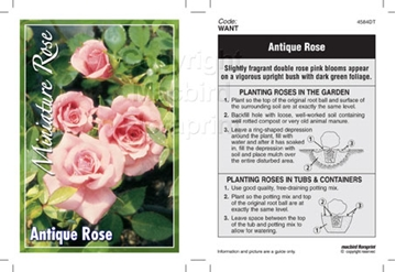 Picture of ROSE MINI ANTIQUE ROSE
