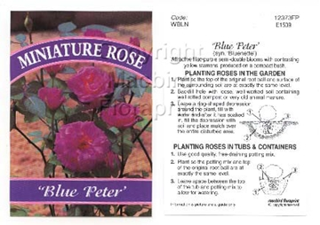Picture of ROSE MINI BLUE PETER