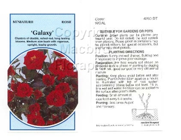 Picture of ROSE MINI GALAXY