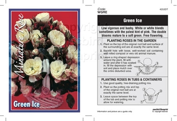 Picture of ROSE MINI GREEN ICE