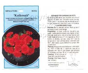 Picture of ROSE MINI KAIKOURA