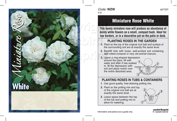 Picture of ROSE MINI WHITE SHADE (UNNAMED VARIETY)