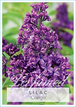 Picture of **SYRINGA LILAC CONGO
