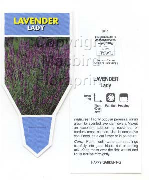 Picture of ANNUAL LAVANDULA LAVENDER LADY