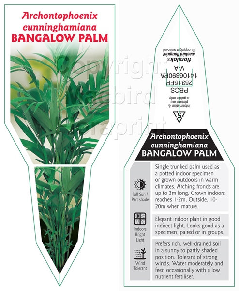 Picture of PALM ARCHONTOPHOENIX CUNNINGHAMIANA BANGALOW