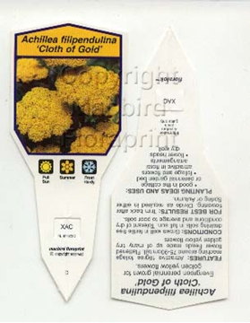 Picture of ACHILLEA FILIPENDULINA CLOTH OF GOLD