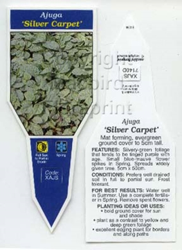 Picture of AJUGA SILVER CARPET