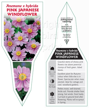 Picture of ANEMONE HYBRIDA PINK JAPANESE WINDFLOWER