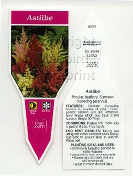 Picture of ASTILBE - MIXED PICTURE (UNNAMED VARIETY)