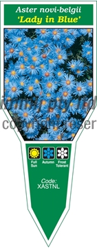 Picture of ANNUAL ASTER NOVI-BELGII LADY IN BLUE