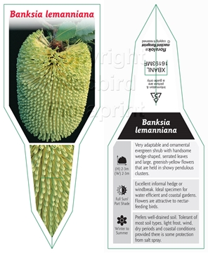Picture of BANKSIA LEMANNIANA