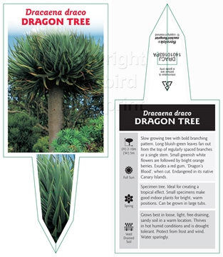 Picture of DRACAENA DRACO DRAGON TREE