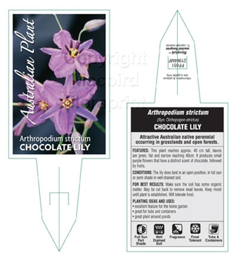 Picture of ARTHROPODIUM STRICTUM CHOCOLATE LILY