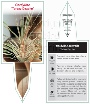 Picture of CORDYLINE AUSTRALIS TORBAY DAZZLER