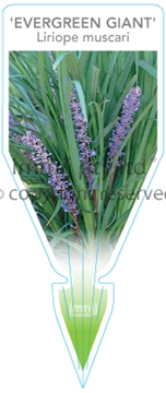 Picture of **LIRIOPE MUSCARI EVERGREEN GIANT