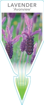 Picture of **LAVANDULA AVONVIEW