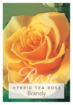 Picture of ROSE BRANDY (HT)