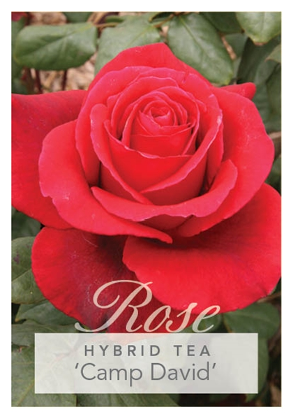 Picture of ROSE CAMP DAVID (HT)