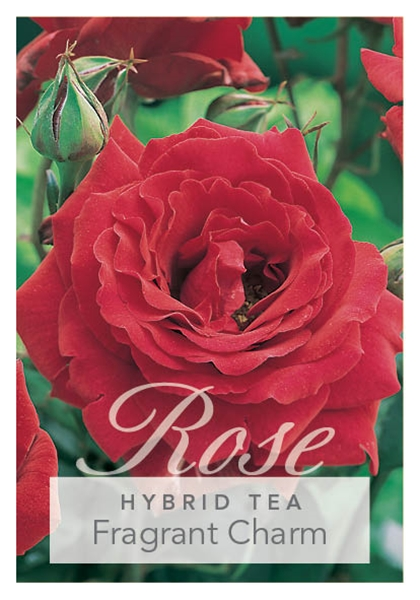 Picture of ROSE FRAGRANT CHARM (HT)