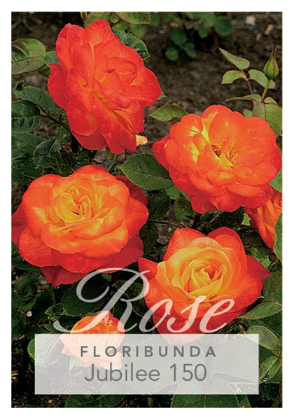 Picture of ROSE JUBILEE 150 (FL)