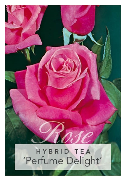 Picture of ROSE PERFUME DELIGHT (HT)