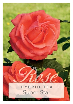 Picture of ROSE SUPER STAR (HT)