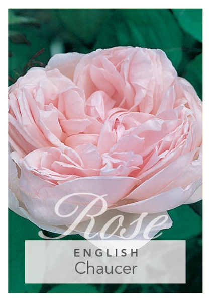 Picture of **ROSE CHAUCER (ER)