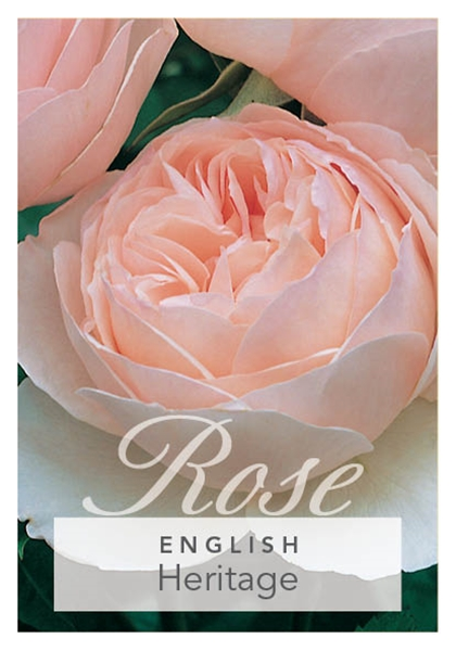 Picture of ROSE HERITAGE (ER)