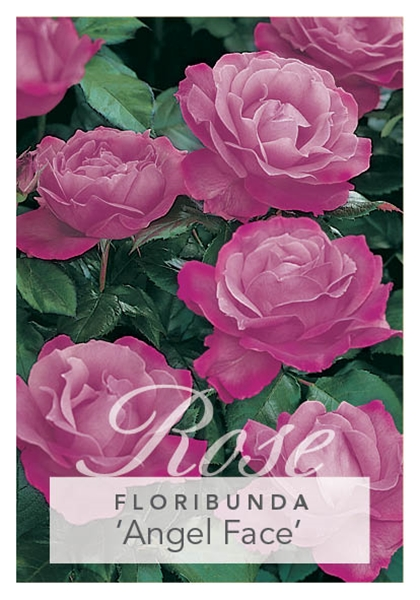 Picture of ROSE ANGEL FACE (FL)