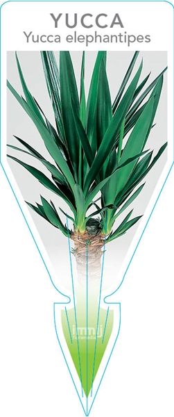 Picture of **YUCCA ELEPHANTIPES