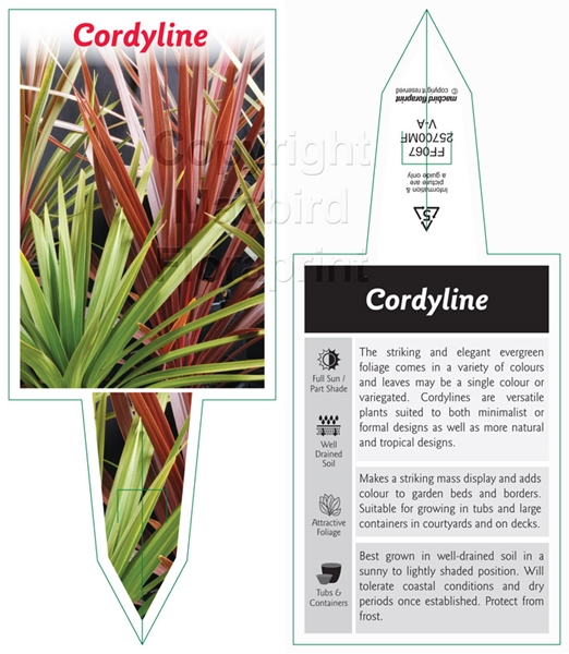 Picture of CORDYLINE MIXED PICTURE (NARROW LEAF FORM UNNAMED