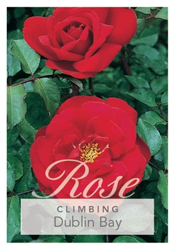Picture of ROSE DUBLIN BAY (CL)