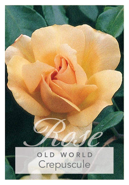 Picture of ROSE CREPUSCULE (OW)
