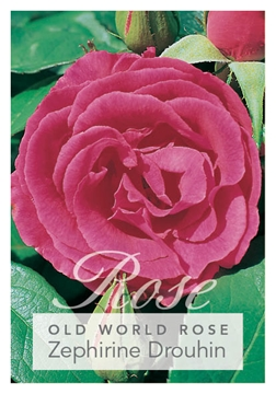 Picture of ROSE ZEPHIRINE DROUHIN (OW)